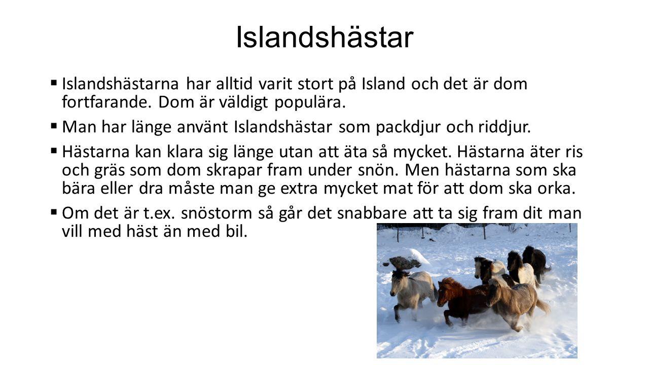 Islandshästar Islandshästarna har alltid varit stort på Island och det är dom fortfarande. Dom är väldigt populära.