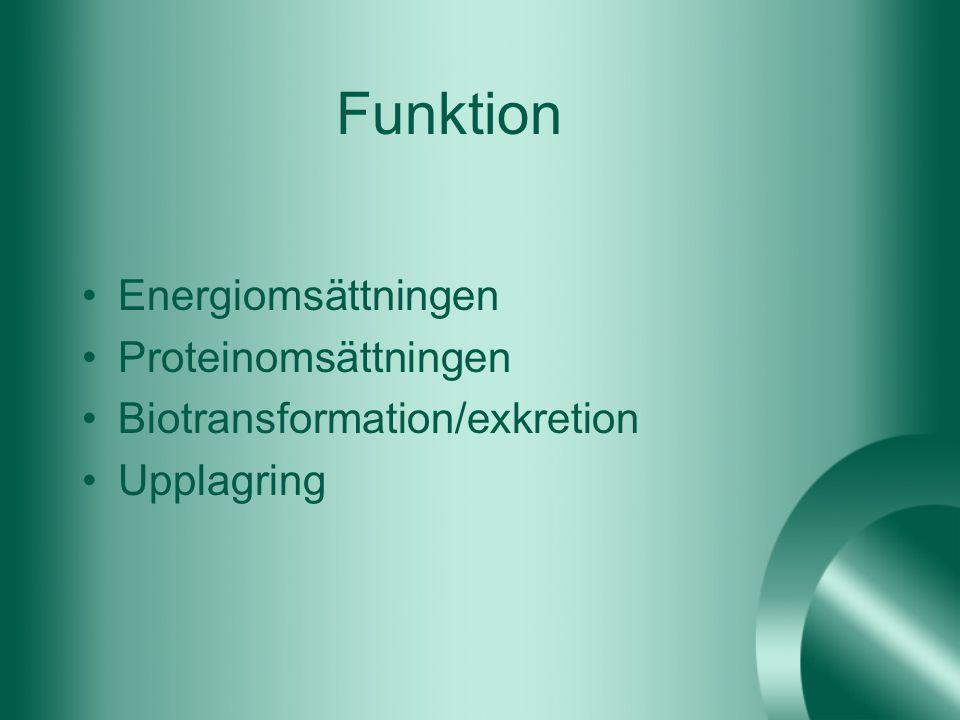 Funktion Energiomsättningen Proteinomsättningen