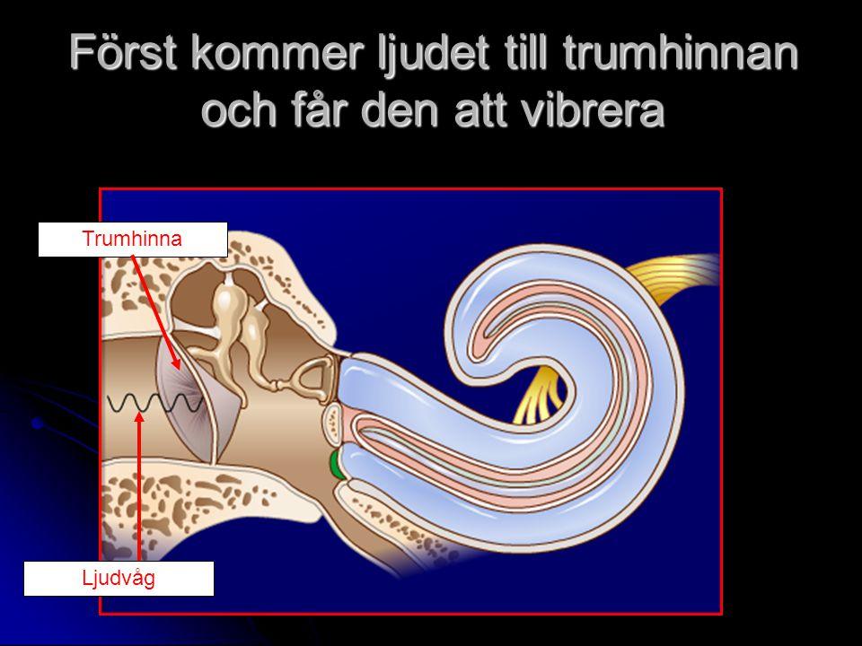Först kommer ljudet till trumhinnan och får den att vibrera