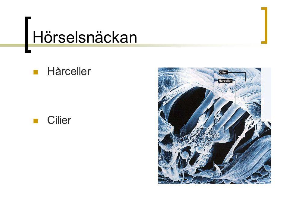Hörselsnäckan Hårceller Cilier