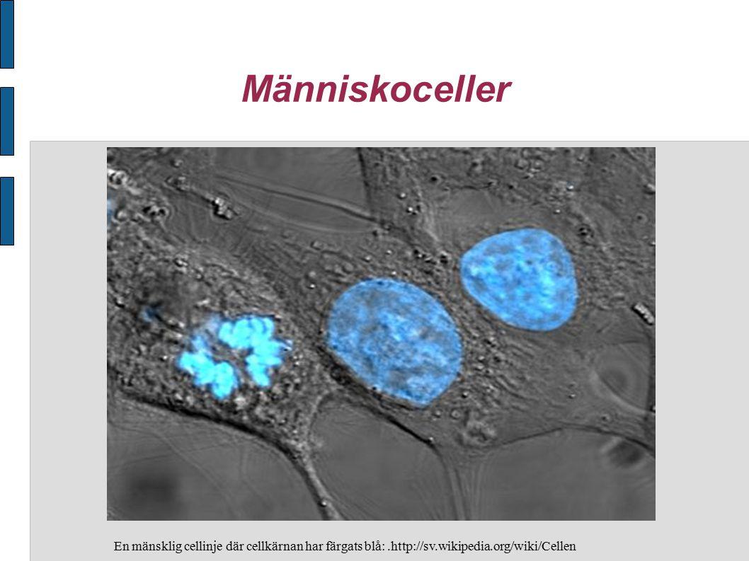 Människoceller En mänsklig cellinje där cellkärnan har färgats blå: .http://sv.wikipedia.org/wiki/Cellen.