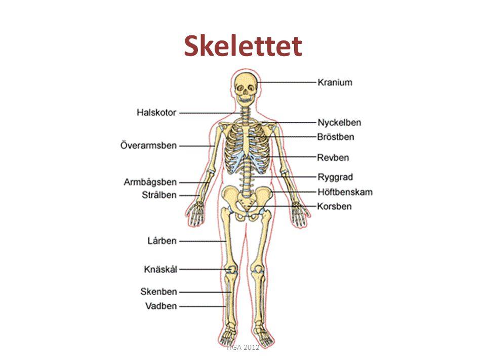 Skelettet HGA 2012