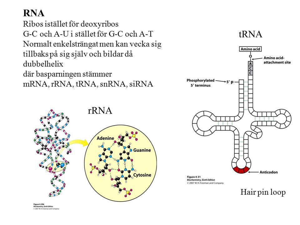 RNA Ribos istället för deoxyribos G-C och A-U i stället för G-C och A-T Normalt enkelsträngat men kan vecka sig tillbaks på sig själv och bildar då dubbelhelix där basparningen stämmer mRNA, rRNA, tRNA, snRNA, siRNA