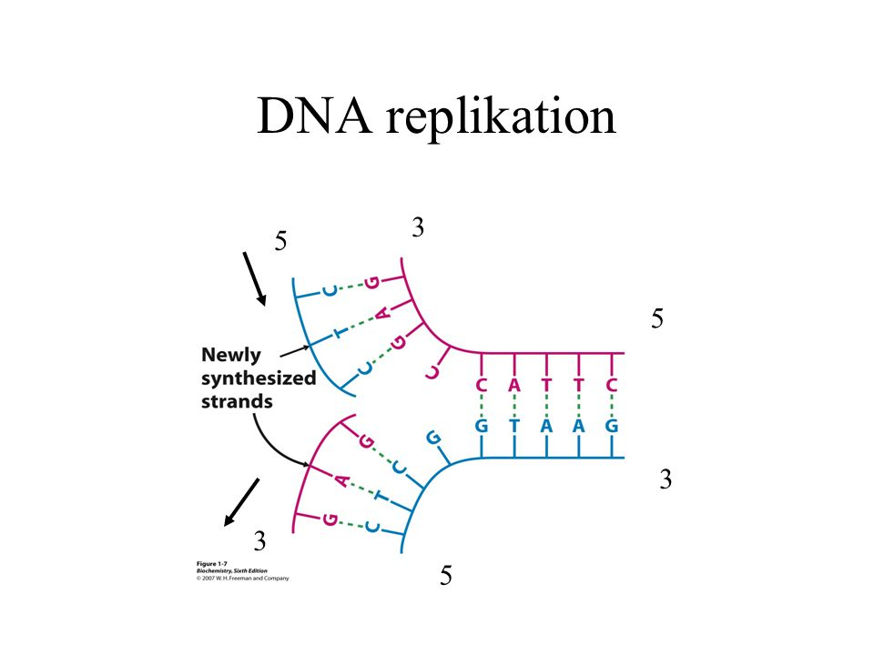 DNA replikation 3 5 5 3 3 5