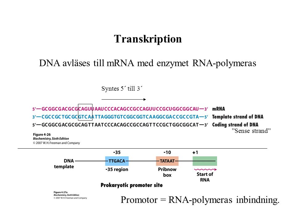 Transkription DNA avläses till mRNA med enzymet RNA-polymeras