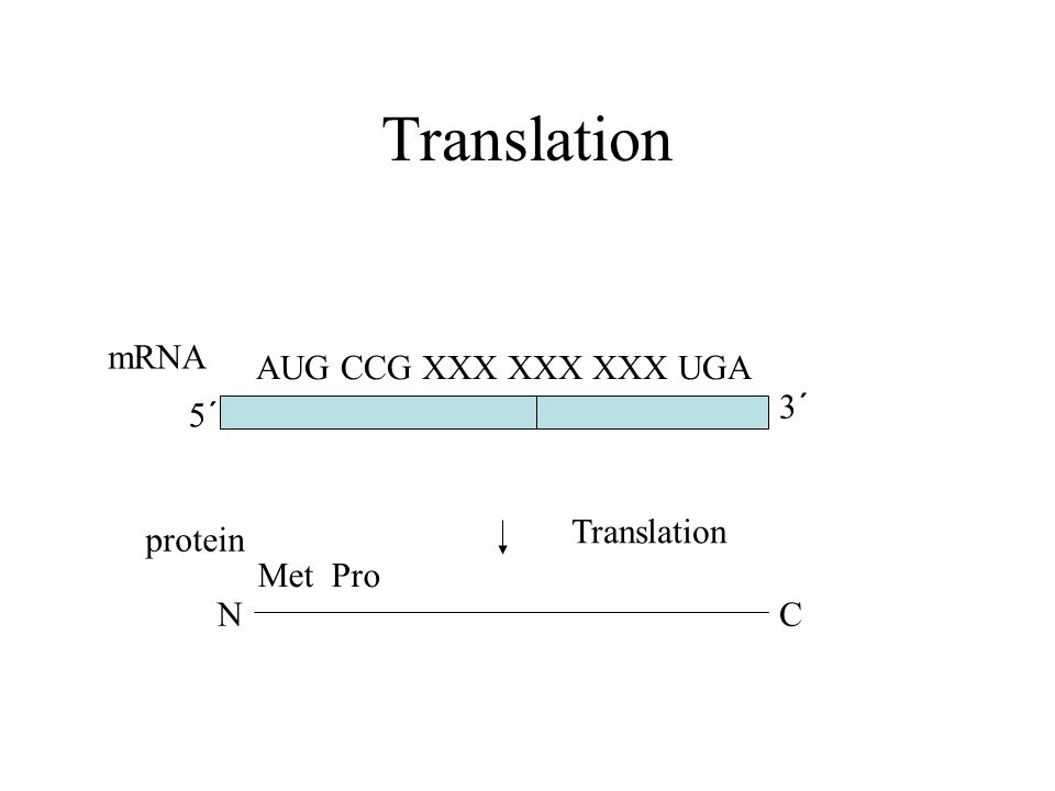 Translation mRNA AUG CCG XXX XXX XXX UGA 3´ 5´ Translation protein