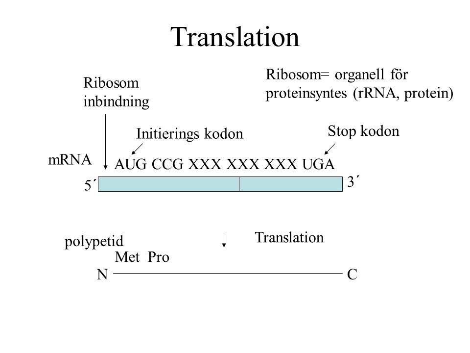 Translation Ribosom= organell för proteinsyntes (rRNA, protein)