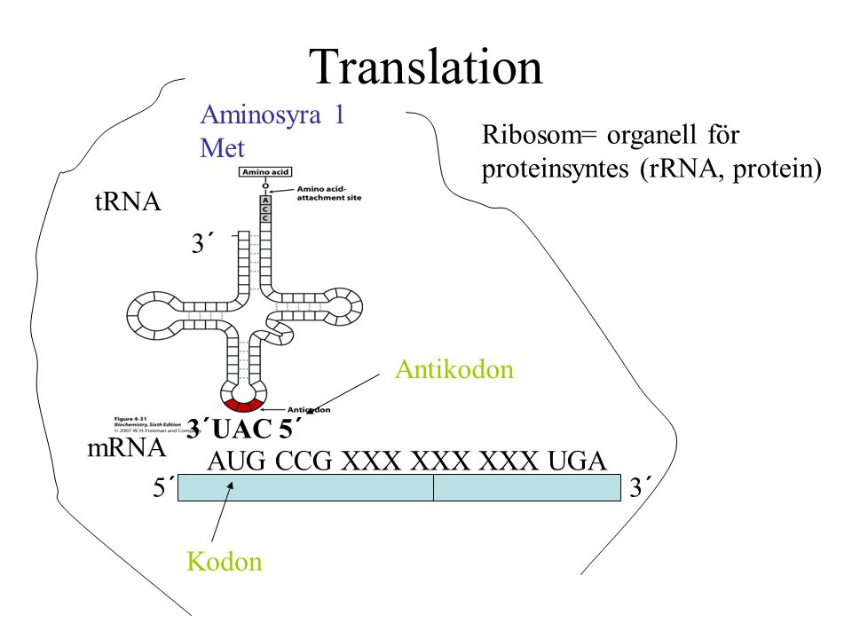 Translation Aminosyra 1 Met Ribosom= organell för