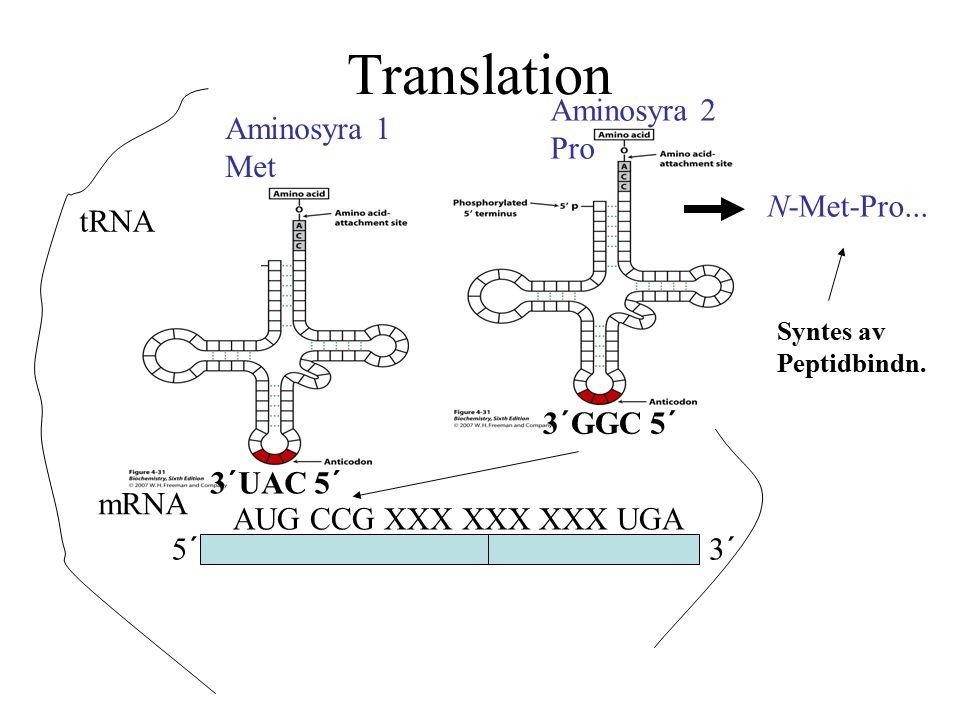 Translation Aminosyra 2 Pro Aminosyra 1 Met N-Met-Pro... tRNA 3´GGC 5´