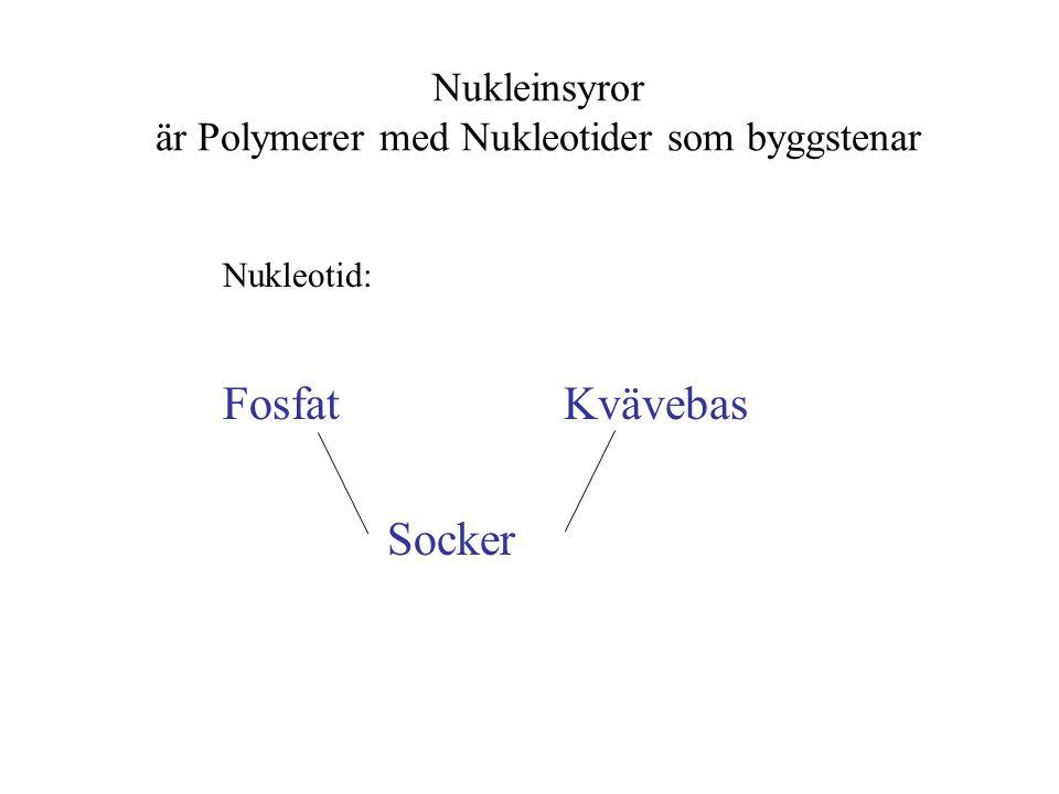 Nukleinsyror är Polymerer med Nukleotider som byggstenar