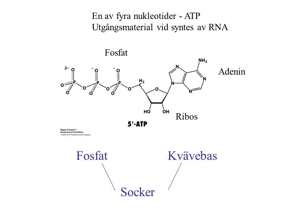 Fosfat Kvävebas Socker En av fyra nukleotider - ATP
