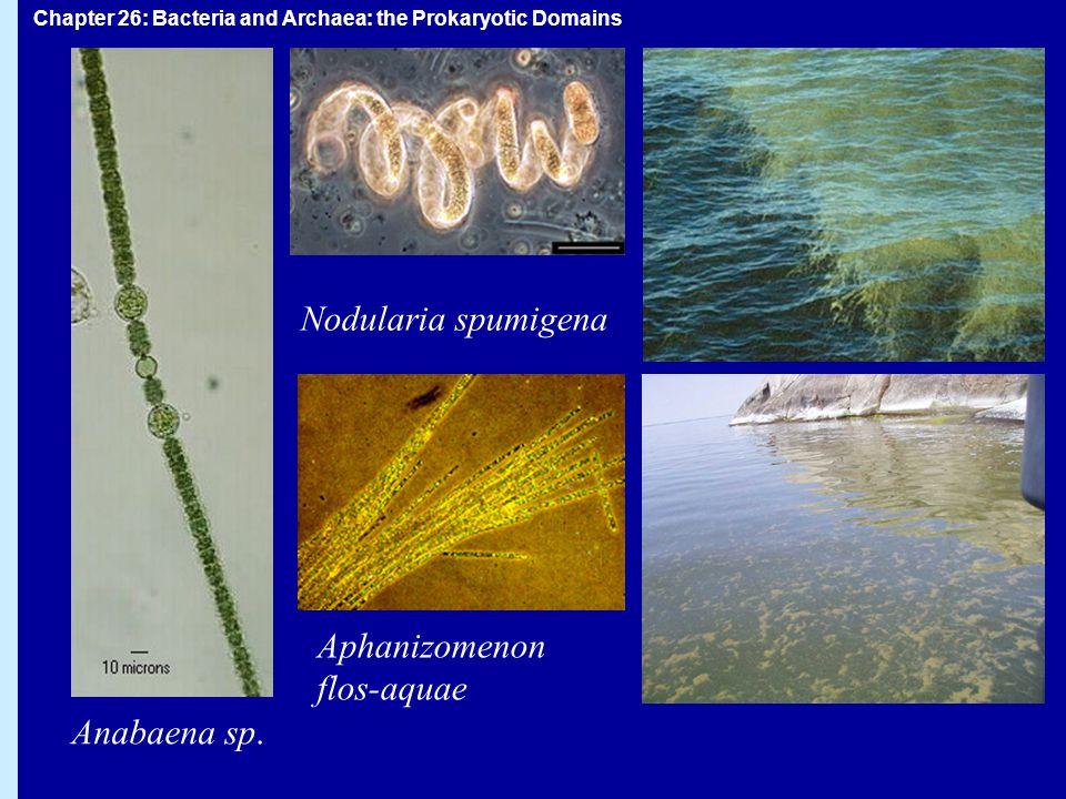 Nodularia spumigena Aphanizomenon flos-aquae Anabaena sp.