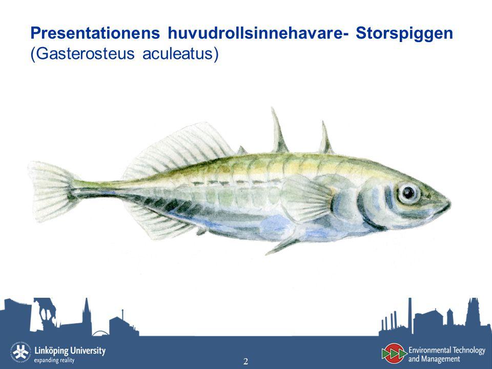 Presentationens huvudrollsinnehavare- Storspiggen (Gasterosteus aculeatus)