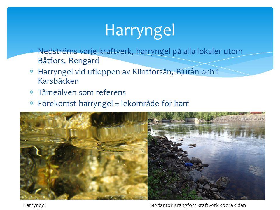 Harryngel Nedströms varje kraftverk, harryngel på alla lokaler utom Båtfors, Rengård. Harryngel vid utloppen av Klintforsån, Bjurån och i Karsbäcken.