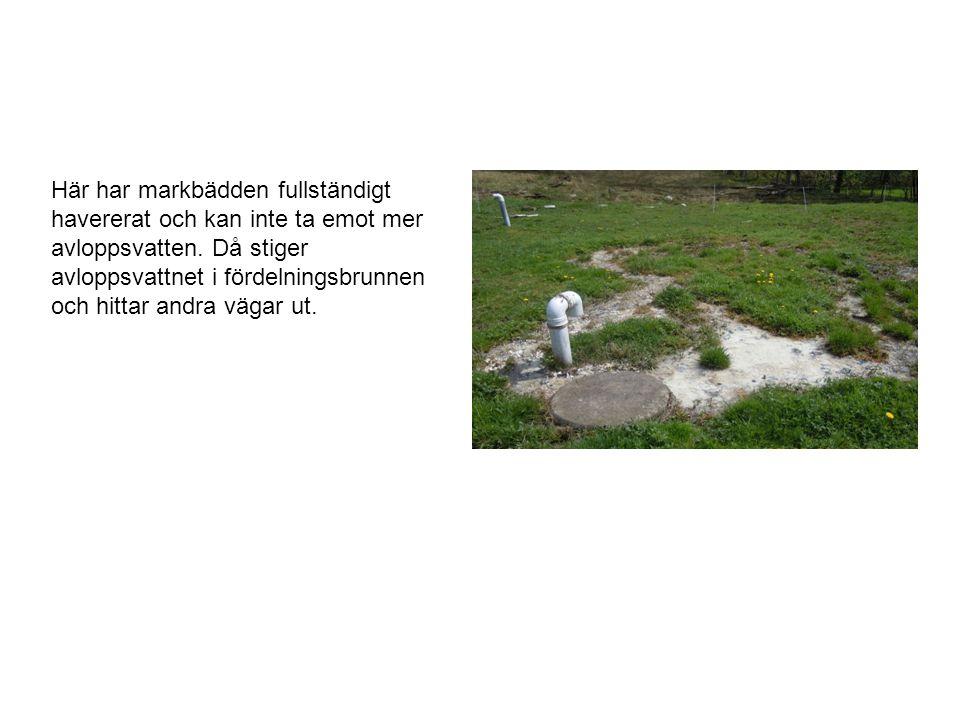 Här har markbädden fullständigt havererat och kan inte ta emot mer avloppsvatten.