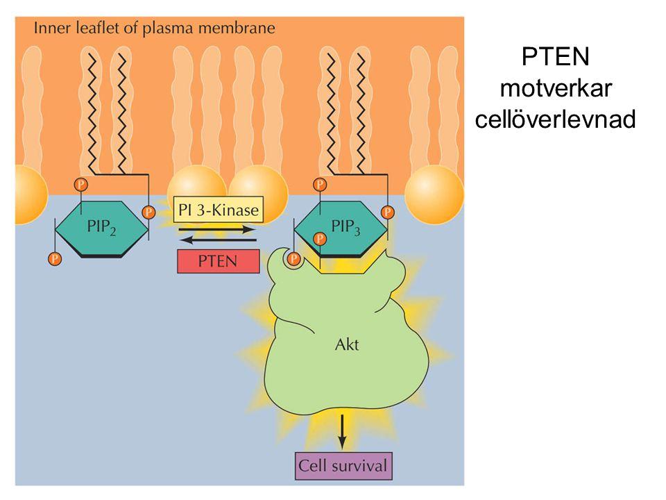 PTEN motverkar cellöverlevnad