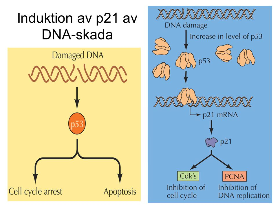 Induktion av p21 av DNA-skada