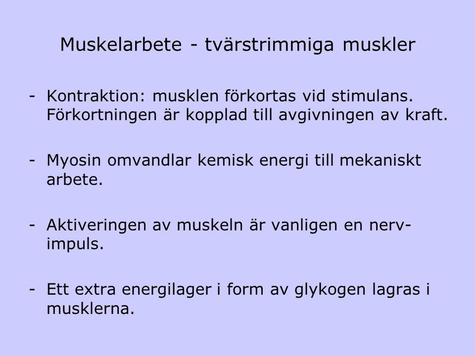 Muskelarbete - tvärstrimmiga muskler