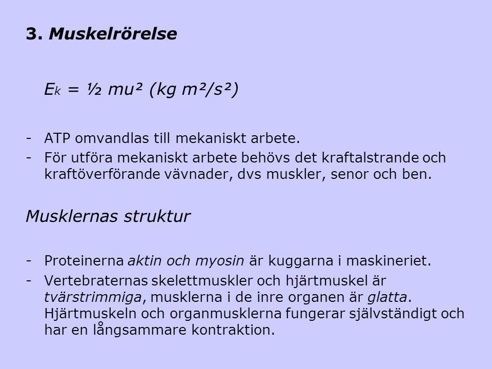 Ek = ½ mu² (kg m²/s²) 3. Muskelrörelse Musklernas struktur