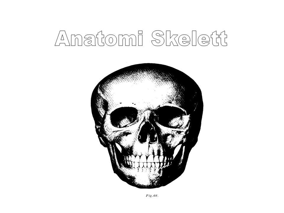 Anatomi Skelett