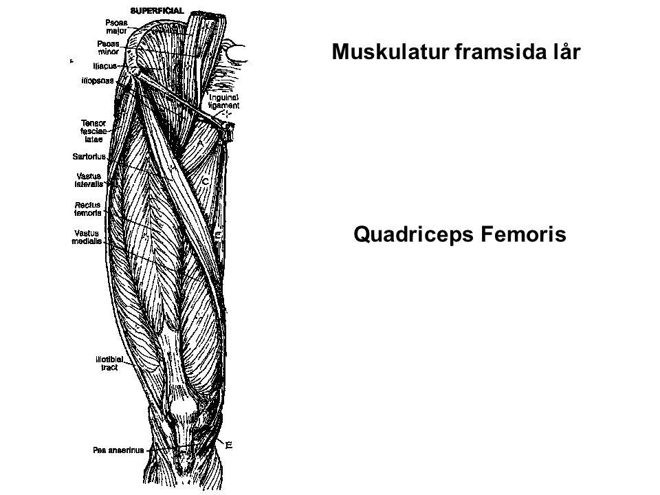 Muskulatur framsida lår