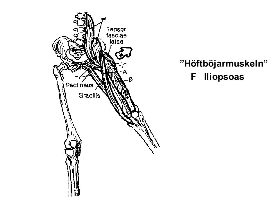 Höftböjarmuskeln F Iliopsoas