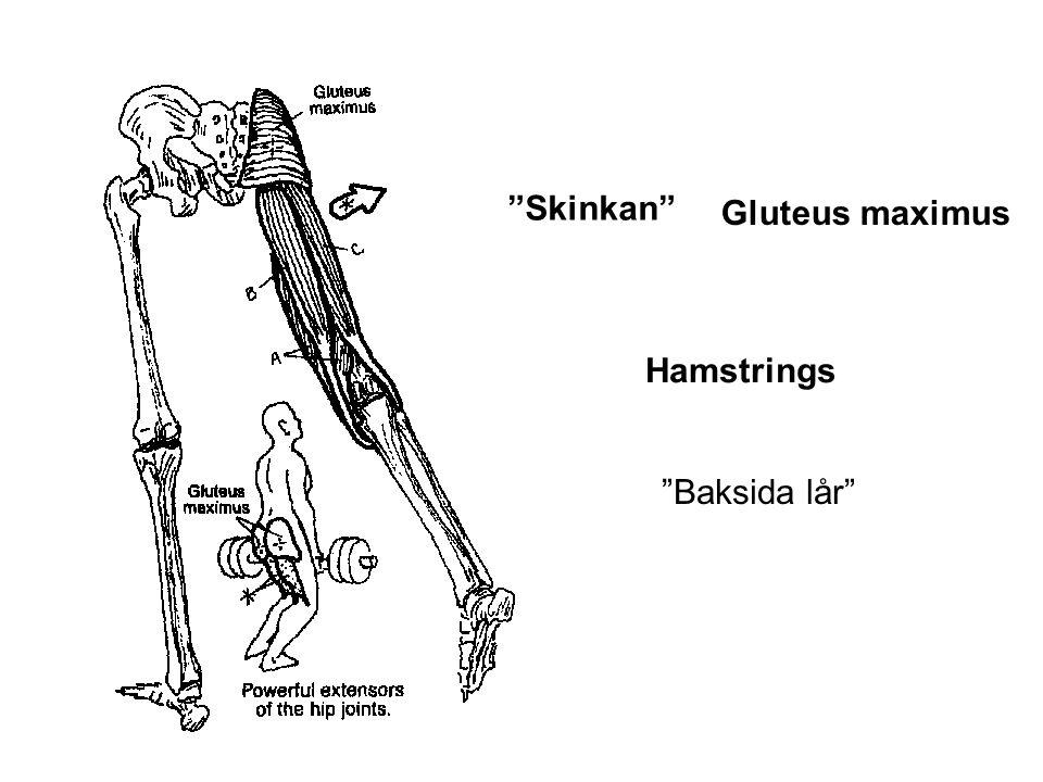 Skinkan Gluteus maximus Hamstrings Baksida lår