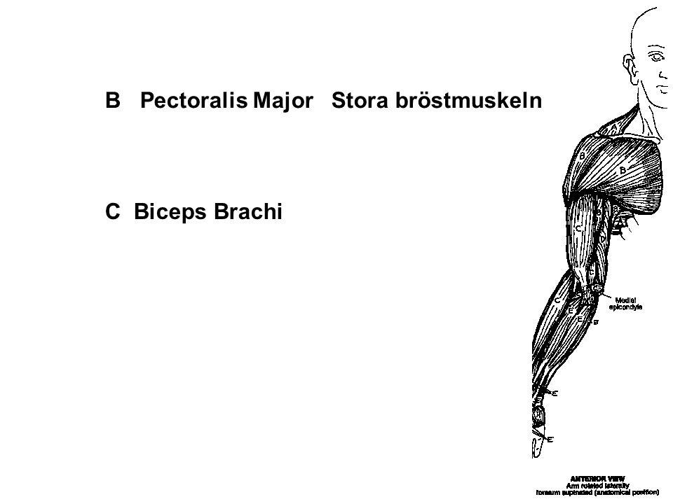 B Pectoralis Major Stora bröstmuskeln