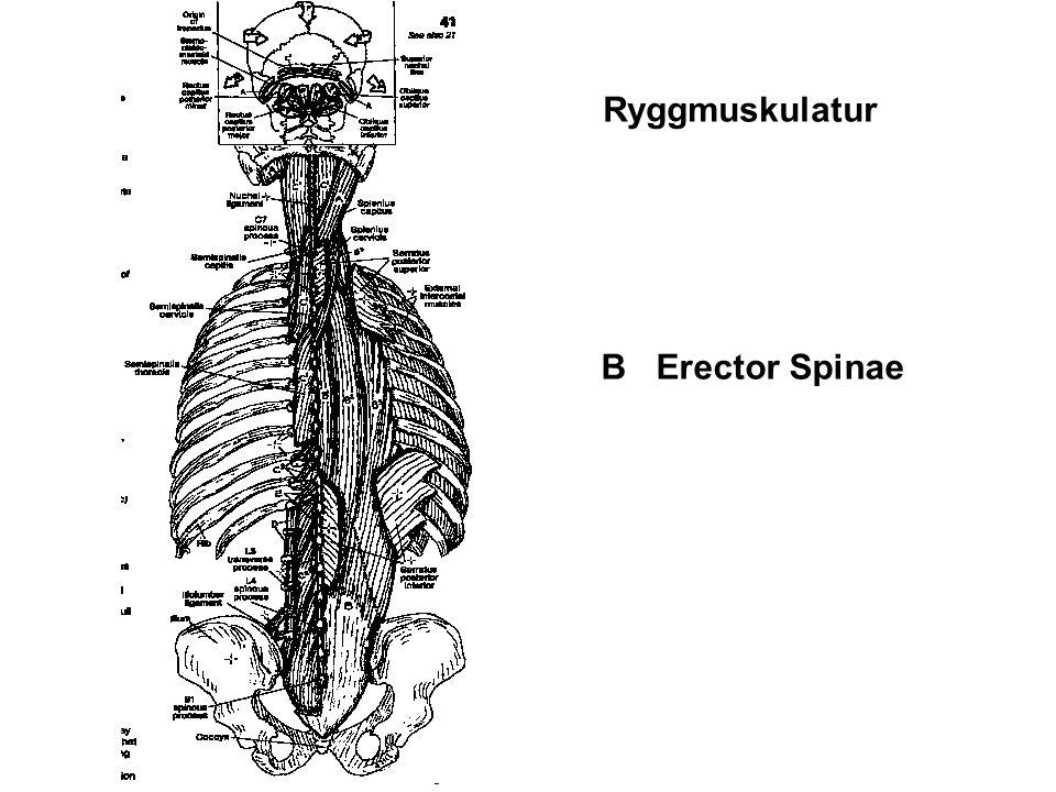 Ryggmuskulatur B Erector Spinae