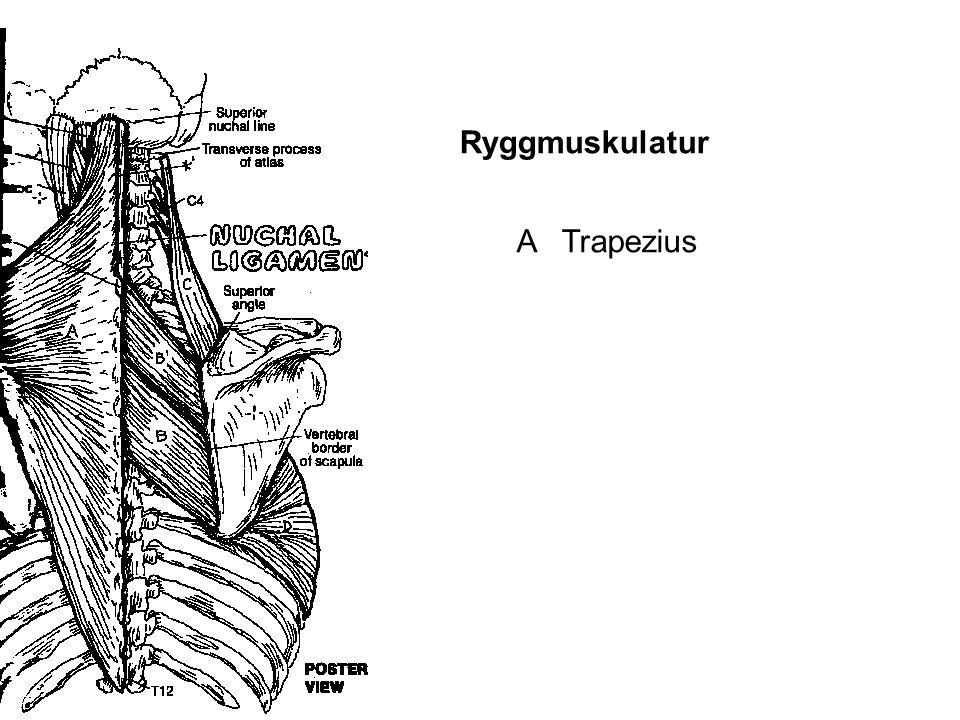 Ryggmuskulatur A Trapezius