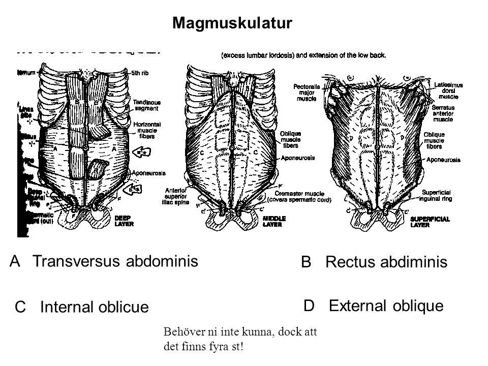 A Transversus abdominis B Rectus abdiminis