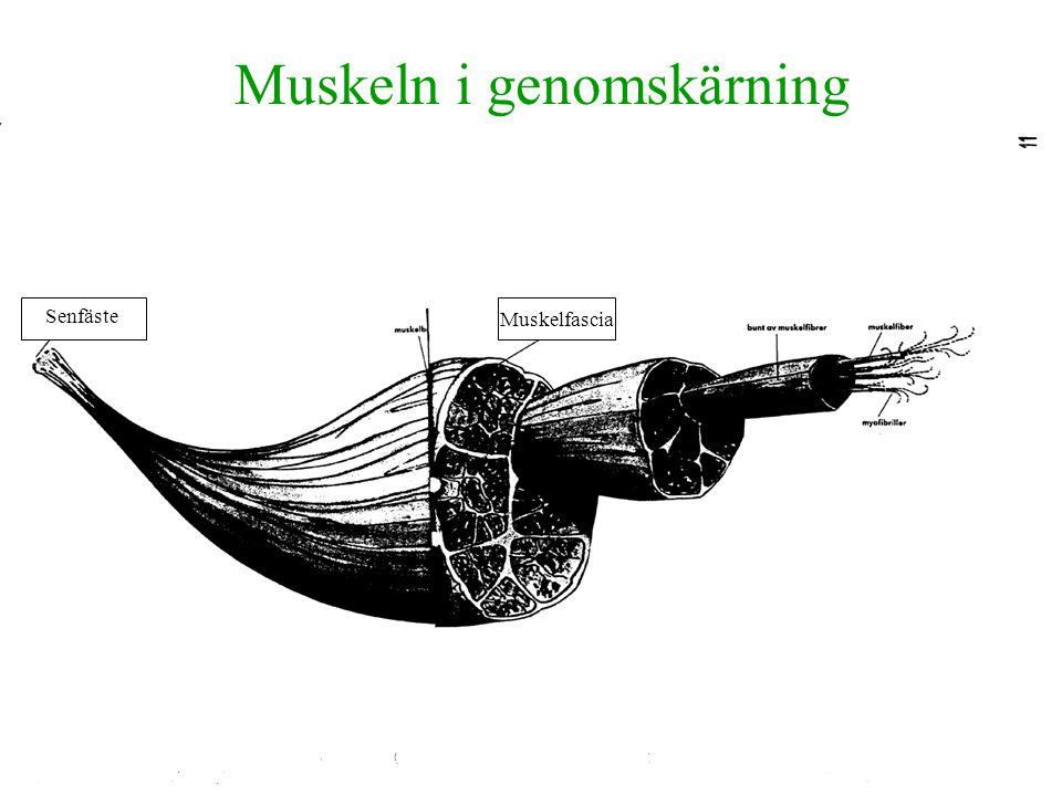 Muskeln i genomskärning