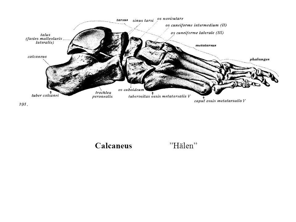 Calcaneus Hälen
