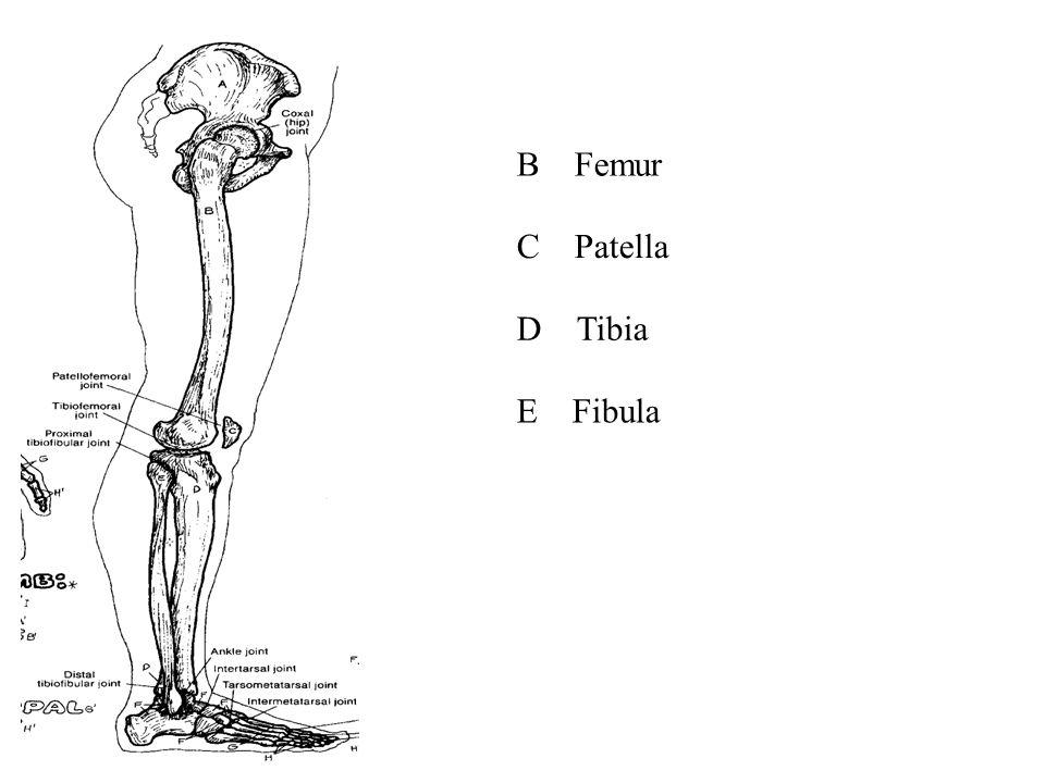 B Femur C Patella D Tibia E Fibula