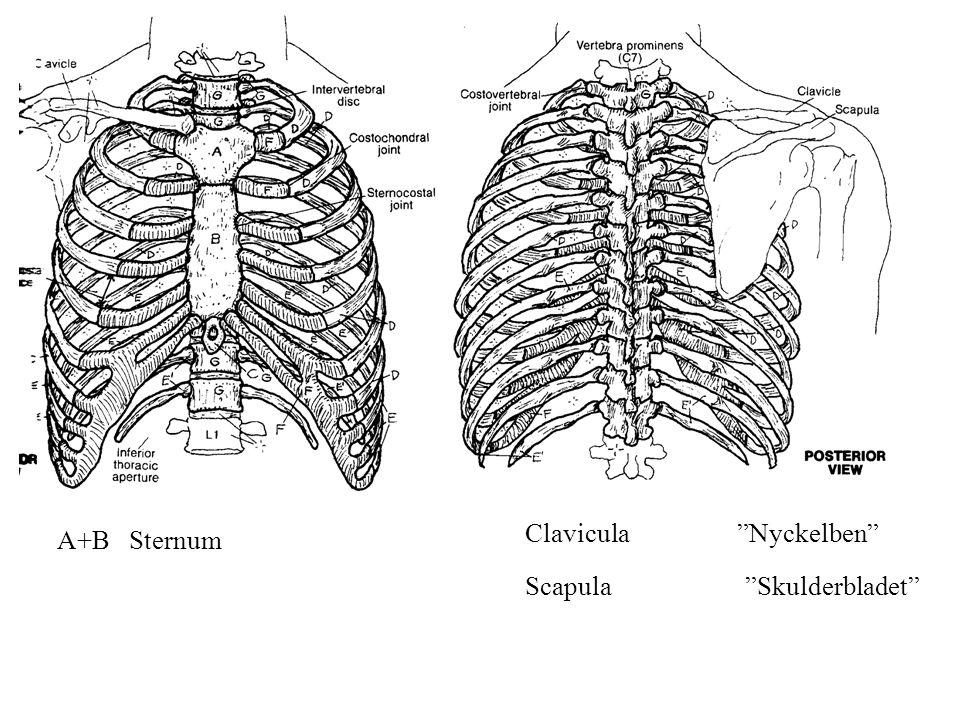 Clavicula Nyckelben A+B Sternum Scapula Skulderbladet