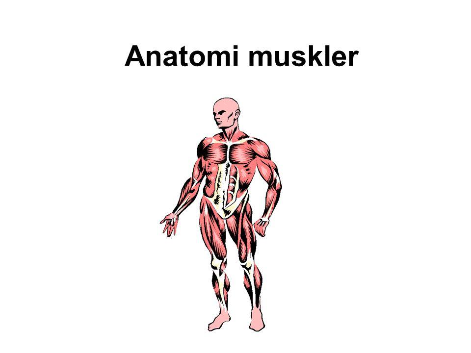 Anatomi muskler
