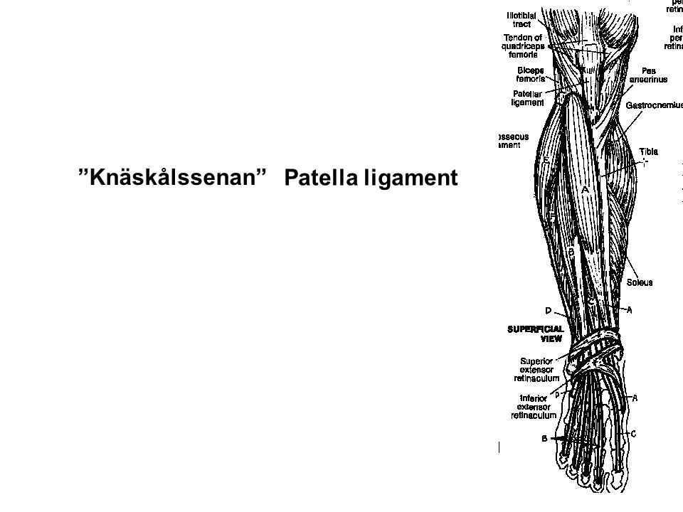Knäskålssenan Patella ligament