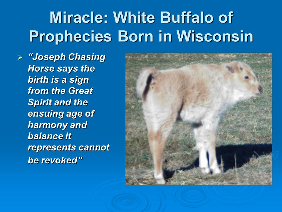 Miracle: White Buffalo of Prophecies Born in Wisconsin