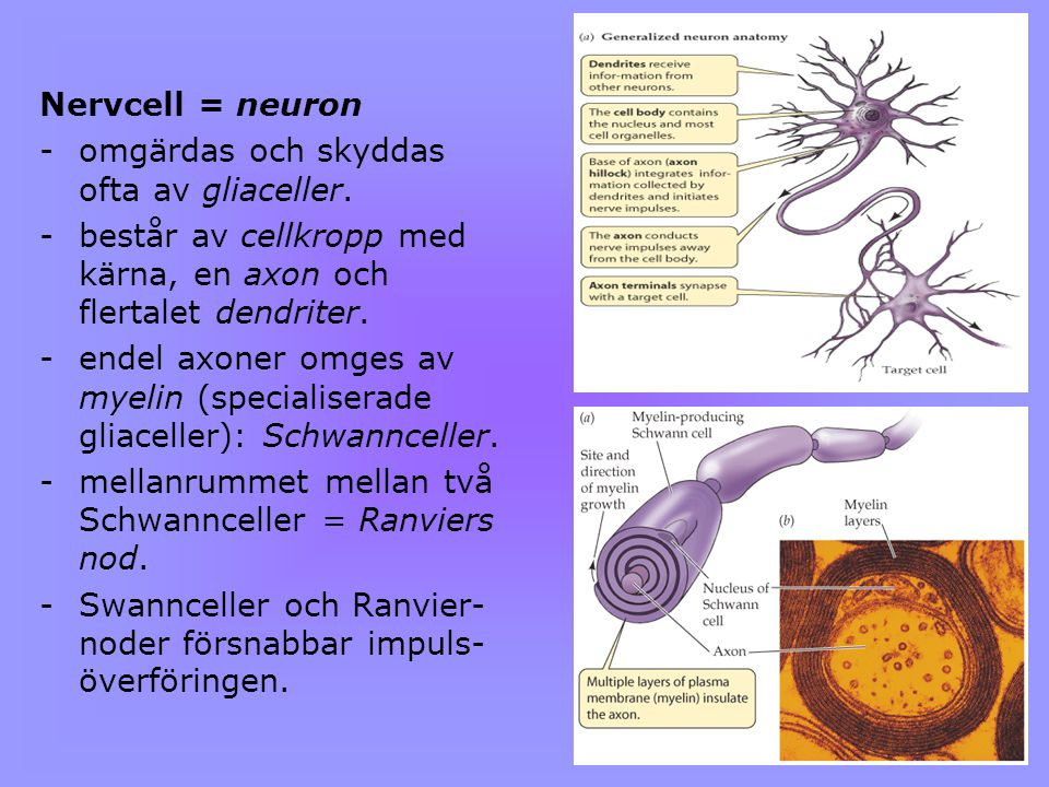 Nervcell = neuron omgärdas och skyddas ofta av gliaceller. består av cellkropp med kärna, en axon och flertalet dendriter.