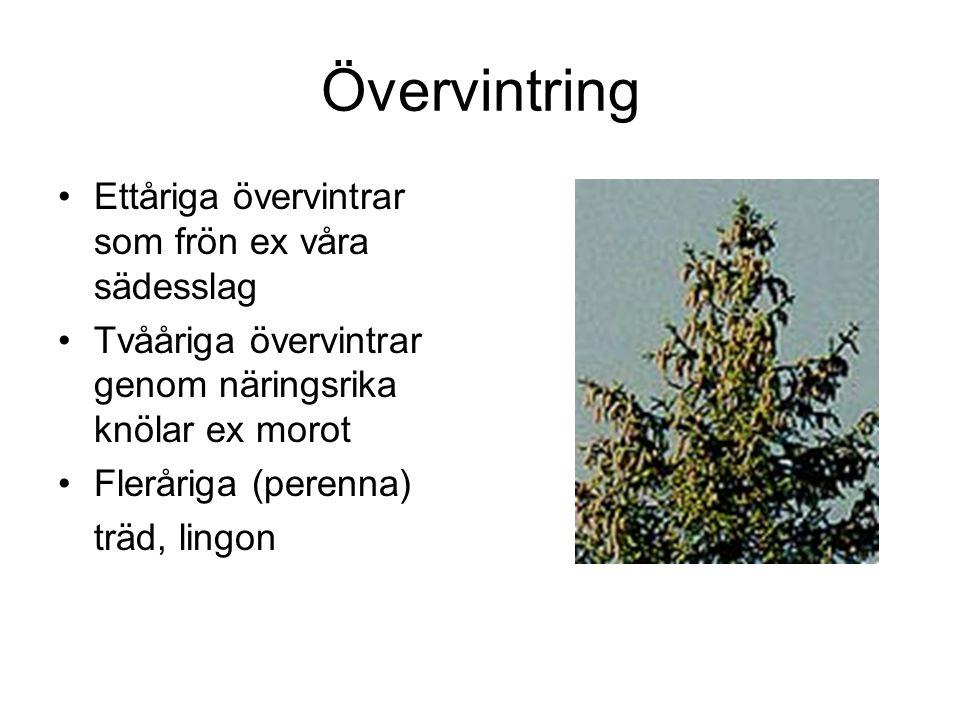Övervintring Ettåriga övervintrar som frön ex våra sädesslag