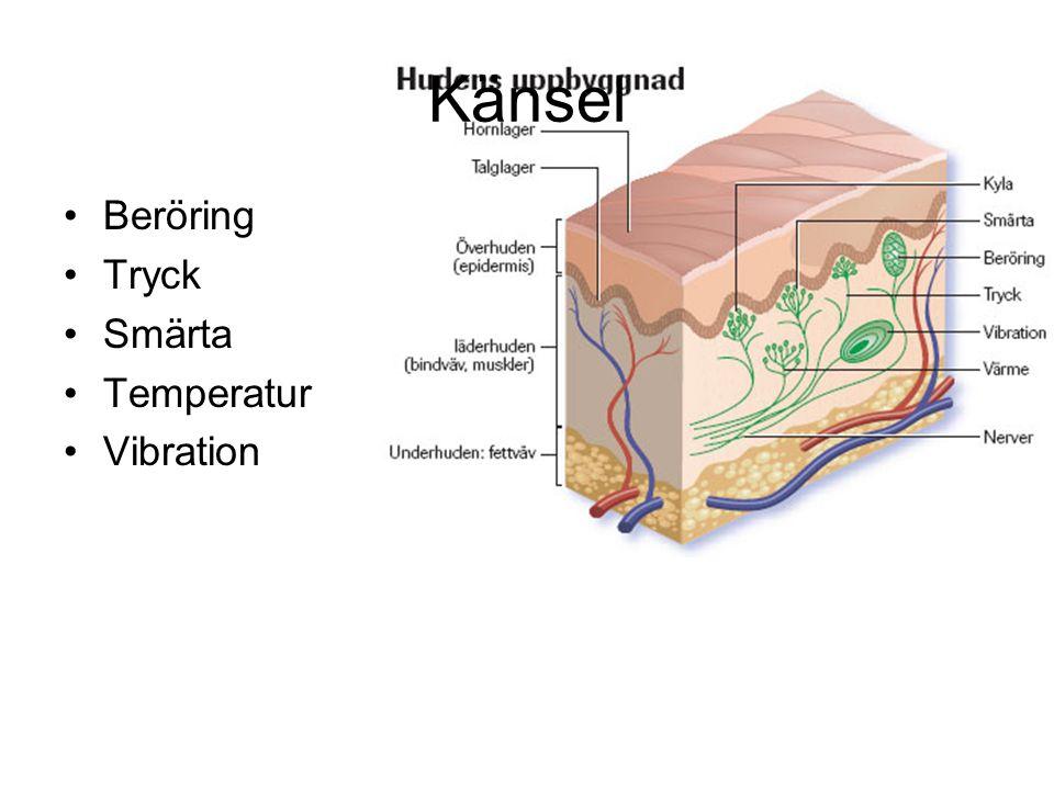 Känsel Beröring Tryck Smärta Temperatur Vibration