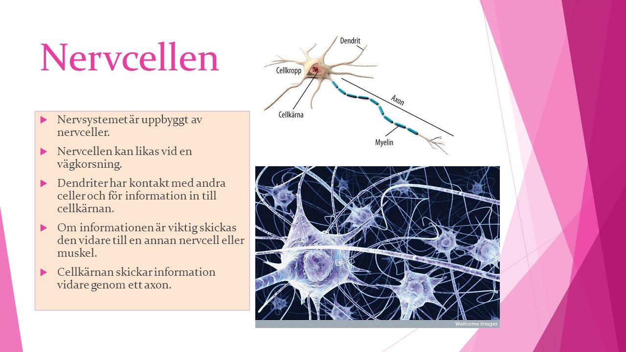 Nervcellen Nervsystemet är uppbyggt av nervceller.