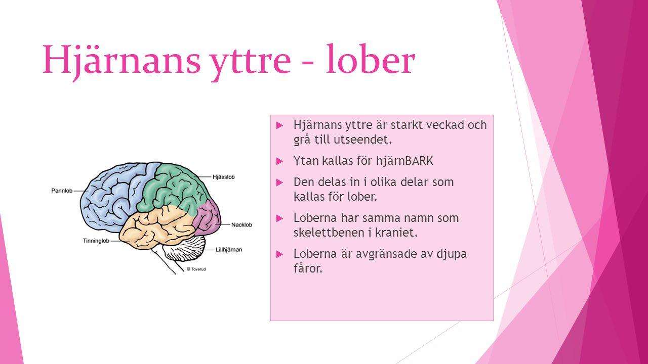 Hjärnans yttre - lober Hjärnans yttre är starkt veckad och grå till utseendet. Ytan kallas för hjärnBARK.