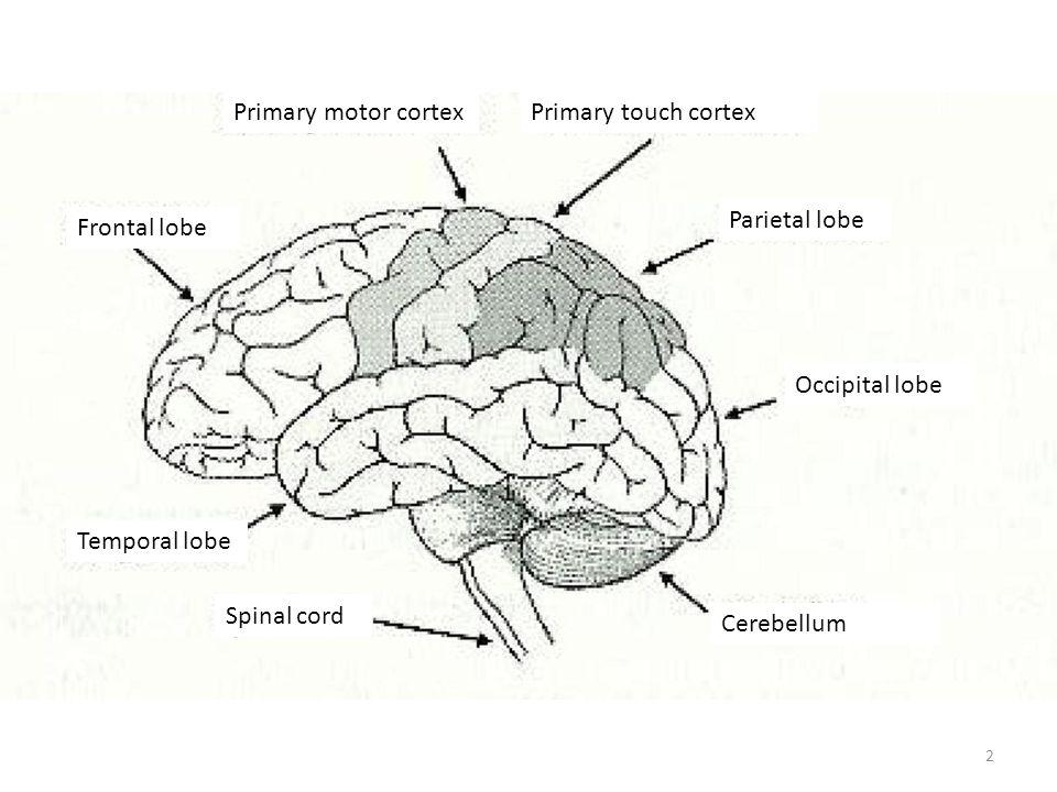 Primary motor cortex Primary touch cortex Parietal lobe Frontal lobe