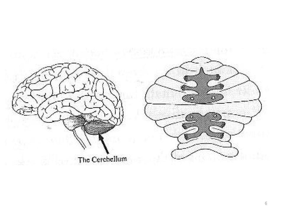 Hjärnan har flera kroppskartor