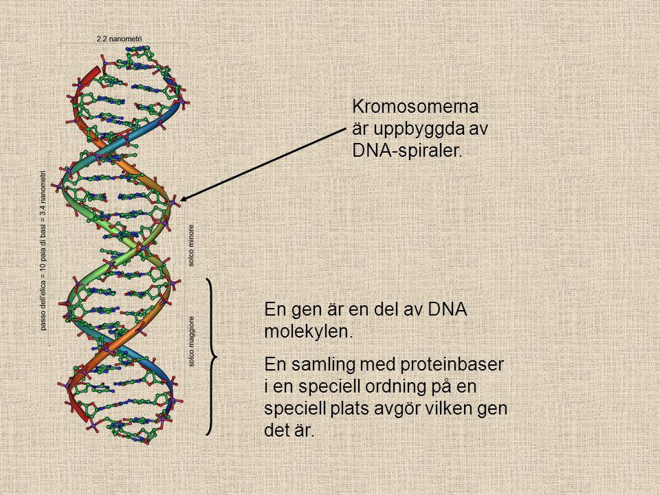 Kromosomerna är uppbyggda av DNA-spiraler.