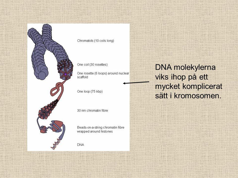 DNA molekylerna viks ihop på ett mycket komplicerat sätt i kromosomen.
