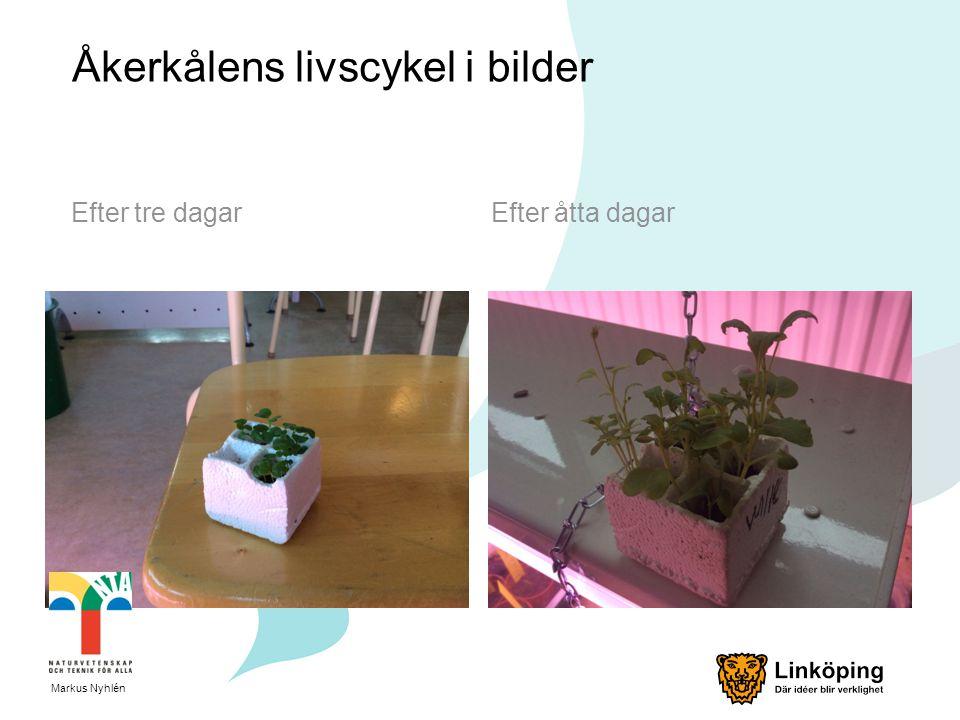 Åkerkålens livscykel i bilder