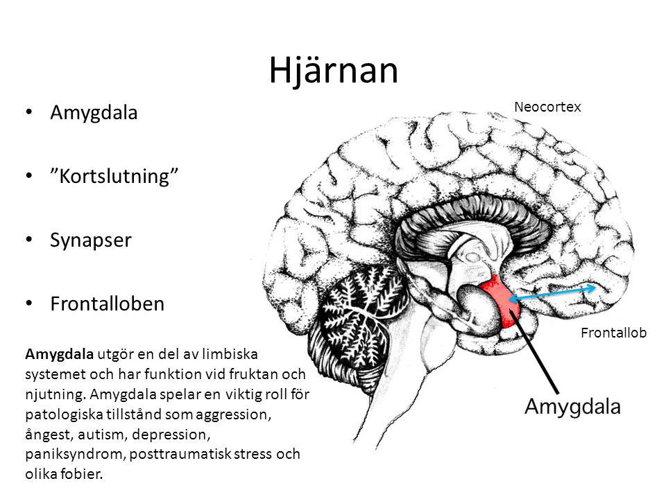 Hjärnan Amygdala Kortslutning Synapser Frontalloben