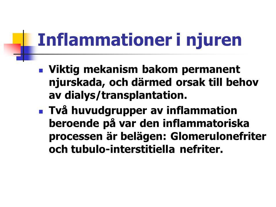 Inflammationer i njuren